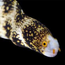 snowflake eel snowflake moray eel for sale small petco