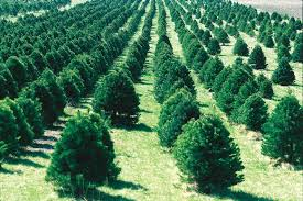 Pacific Northwest Christmas Tree Association - christmas tree cultivation wikipedia