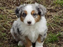 australian shepherd puppies near me view ad australian shepherd puppy for sale oregon prineville usa