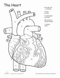 163 best anatomy heart images on pinterest anatomy