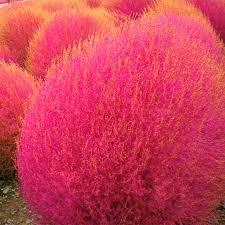 grass seeds perennial 100pcs kochia scoparia seeds garden