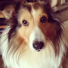 sheltie x australian shepherd breed sheltie