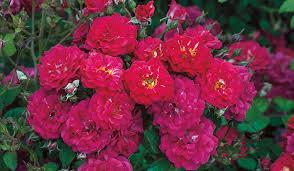 roses wholesale weeks roses wholesale grower