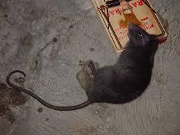 siesta key rat rodent mouse control exterminators