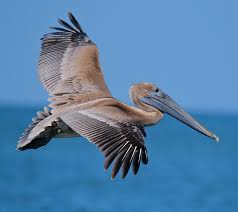 pelican fly by birds pinterest bird animal and ocean life