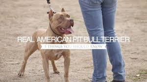 american pitbull terrier illegal the real american pit bull terrier five things you should know