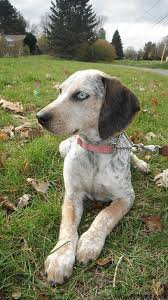 bluetick coonhound apparel 33 best sup dogg images on pinterest animals bluetick