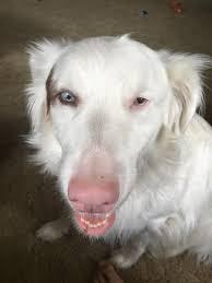 double j australian shepherds 32 gorgeous albino animals i am a double merle australian