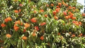 mast tree ashoka tree cemetry tree ubbina trees gardening