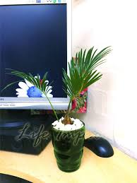 1 king sago palm cycas revoluta in pot indoor office house plant