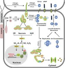 Symptoms Of Viral Diseases In Plants - plant immune responses against viruses how does a virus cause