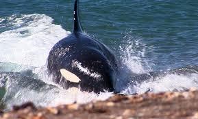 killer whales lessons tes teach