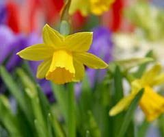How To Grow A Bulb In A Vase Daffodils Planting Guide U2013 Easy To Grow Bulbs