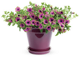 flower plants supertunia pretty much picasso petunia hybrid proven winners