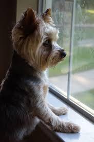 silky terrier hair cut waiting for mommie love yorkies pinterest yorkie haircuts