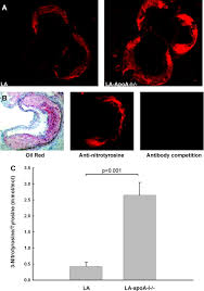increased protein nitration burden in the atherosclerotic lesions