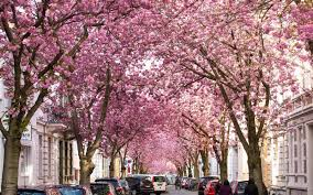 cherry blossom pics where to see stunning cherry blossoms in l a this spring los