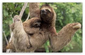 4 toed sloth three toed sloth with baby corcovado national park costa rica