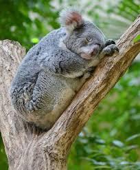 winter season sleeping postures koalas