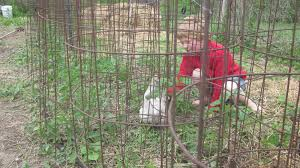 make the only tomato cages you u0027ll ever need in minutes