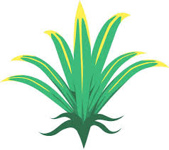 floor plant plant clipart pandan pencil and in color plant clipart pandan