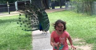 Peacock Meme - kid runs away from zoo peacock is embraced by internet ny daily