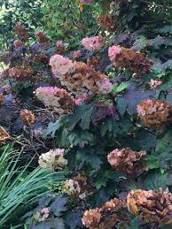 list of fall flowers hydrangea problems diy