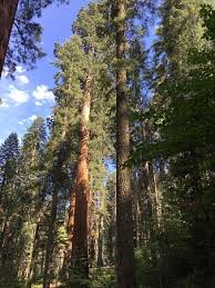 big trees trail sequoia and national park ca top