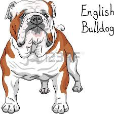 color sketch of the dog english bulldog breed royalty free