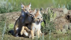 canada u0027s wildlife are in trouble wwf canada u0027s new study finds
