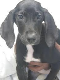 bluetick coonhound rescue georgia kennel 10 49183 treeing walker coonhound u0026 labrador retriever
