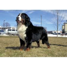 belgian malinois jet black bernese mountain dog dog breeds dog com