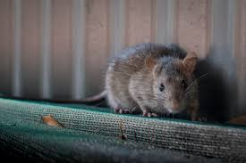 Seeking Vancouver Oh Great Vancouver Cars Are Now Becoming Rats Nests