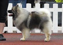 american eskimo dog vs keeshond keeshond wikipedia