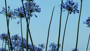 the meaning of an agapanthus garden guides