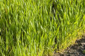 wheat growing information tips on caring for backyard wheat grain