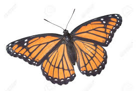 a viceroy butterfly with wings open is shown on a white background