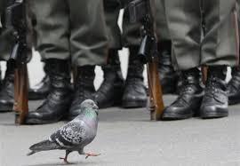 cuisine des pigeons voyageurs armement et communication l armée française va t recruter