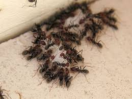 Ants In Bathtub Bathroom Ant Infestation In Bathroom On Bathroom With Tiny Black
