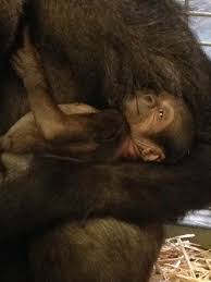 this mama gorilla kissing and cuddling her baby will make your