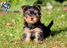 puppies for sale pa morkie puppies for sale health guaranteed keystone puppies