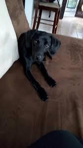 belgian shepherd el paso lost dogs in el paso tx lost my doggie