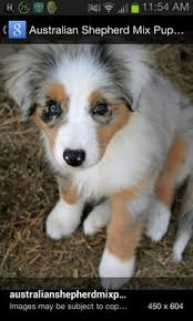 is an australian shepherd smart lulus lil aussies toy australian shepherds animals
