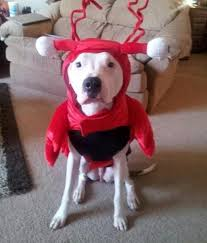 lobster costume lobster dog costume by casual canine with same day