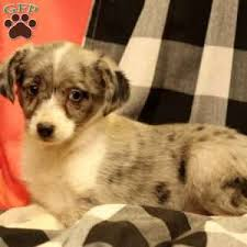 australian shepherd kid friendly toy australian shepherd puppies for sale greenfield puppies