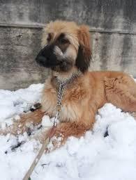 afghan hound judith light toy u0027s dog kyra eyht afghan hound pinterest afghan hound