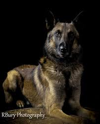 belgian malinois quotes 59 best belgian malinois images on pinterest german shepherds