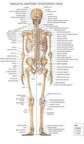 Human Anatomy Diagram Download Bones Diagram Human Body Human Body Skeleton Bones Skeleton