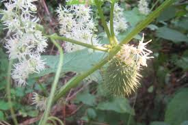 native plant and seed maynard life outdoors and hidden history of maynard wild cucumber