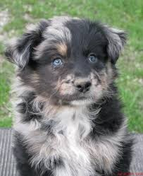 australian shepherd kid friendly puppy policies